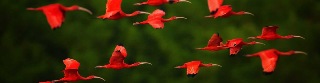 Scarlet Ibis flying - Environmental Law
