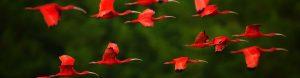 Scarlet Ibis flying - Environmental Law